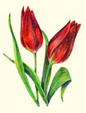 Color pencil red tulips on a white background. Floral illustration for design. Red flower background hand illustration color pencil plants  pattern floral Stock Images