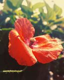 Red flower. Flower on the balcony Royalty Free Stock Photography