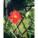 Red flower. Beautiful flower in the garden Stock Photos