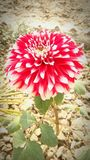 Red flower beauty of nature. Red flower beauty in nature Stock Images