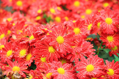 Red Flower bed Stock Image