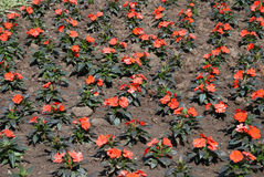 Red flower bed in park Stock Image
