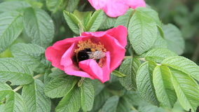 Red flower bee collects pollen stock video footage