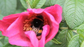 Red flower bee collects pollen stock video
