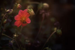 Red flower with bee Stock Photography