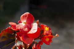 Red flower begonia on dark background. At solar day royalty free stock image