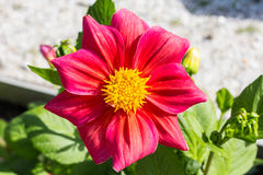 Red flower with big petals in the garden closeup Royalty Free Stock Photo