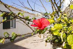 A red flower in Binibequer Nou Fishermen Town Stock Photo