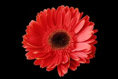 Red flower on the black background Stock Images