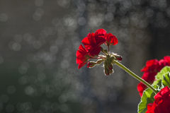 Red flower on black background Stock Photography