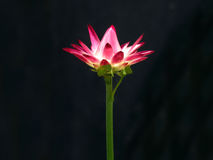 Red flower with black background Royalty Free Stock Photography