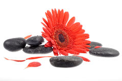 Red flower black stones Stock Image