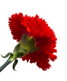 Red flower bloom. One red carnation flower isolated on white stock photo