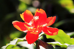 Red flower blooming Stock Photos