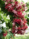 Red flower blooming on garden. Red flower blossoms on trees stock photos