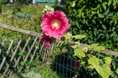 Red flower blooming over garden fence stock photo