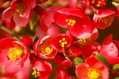 Red flower blooms Royalty Free Stock Images