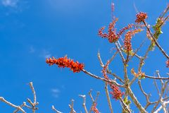 Red flower blooms on an Ocotillo Fouquieria splendens desert plant against a blue sky during spring.  stock image