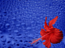 Red Flower on Blue. Red flower on a wet blue surface stock photography