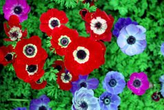 red flower and blue flower Stock Photo