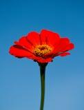 Red flower on blue sky Stock Photos