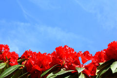Red flower and blue sky background Royalty Free Stock Images
