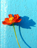 Red flower on bluebackground Royalty Free Stock Images