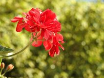 Red flower on blurry green background royalty free stock images