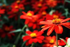 Red flwoer Royalty Free Stock Photography