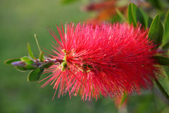 Red flower of Bottlebrush shrub Stock Photos