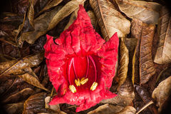 Red Flower on brown leaves. 3115. The red flower of the African Sausage Tree, Kigelia africana on brown leaves Stock Images