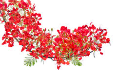 Red flower bush isolated, rouge flamboyant tree, scarlet flora. Red flower bush isolated on white, rouge flamboyant tree, scarlet flora Stock Photos