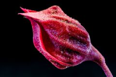Red Flower Bud Stock Image