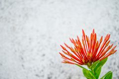 Red flower bud call Ixora. And blur white background Stock Photography