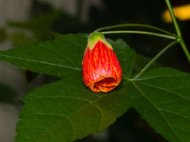 Red flower bud on leaf of abutilon hybrid close-up, selective focus. shallow DOF.  Stock Photo
