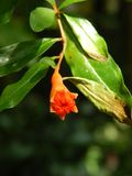 Red flower bud. A red flower bud surrounded with green leaves background on a warm sunny day Royalty Free Stock Image