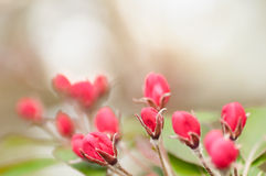 Red flower Bud on the tree. Background is a red flower Bud on the tree Stock Images
