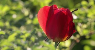 Red flower bud in the yard in summer.  stock video footage
