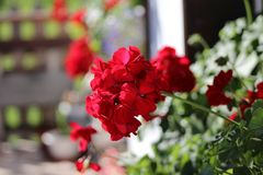 Red flower bunch closeup with blurred background stock photos