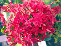 Red Flower. Bunch with four petals Stock Photo