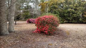 Red flower bush. A red flower bush with pink flowers in the background near a walking trail on Charleston AFB,Charleston, South Carolina, USA stock photography