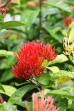 Red flower on a bush in the tropics Royalty Free Stock Photos