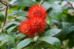 Red Flower Bush willow. Stock Photos