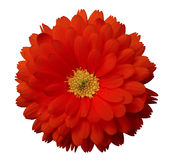 Red flower calendula. white isolated background with clipping path Royalty Free Stock Photos