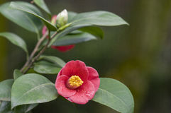 Red flower of camellia Royalty Free Stock Images