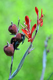 Red flower of the Canna indica Royalty Free Stock Photography