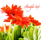 Red flower card 1. Red flower card with space for text Stock Photography