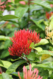 Red flower of a Caribbean flower in the green border Royalty Free Stock Photography
