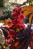 Red flower Castor Oil Plant Royalty Free Stock Images