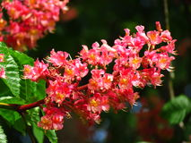 Red flower of chestnut tree Stock Photo